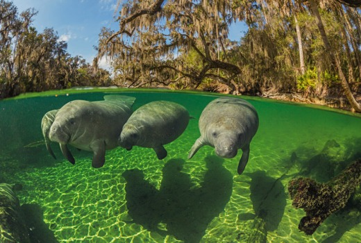 04-manatees-swim-close-to-surface-670