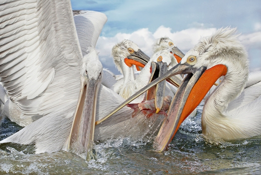 Dalmatian pelicans jostle over a catch discarded by fishermen on a manmade lake in northern Greece,