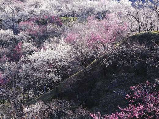 plum-blossoms-japan_78540_990x742