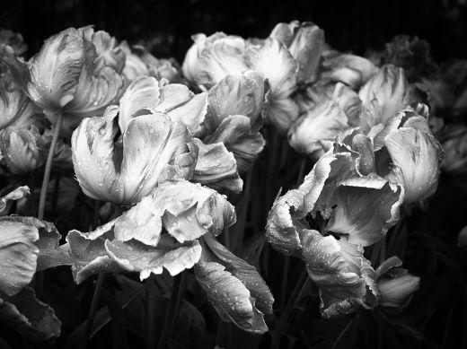 tulips-flowers-monochrome-art_80197_990x742