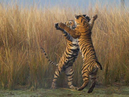 tiger-cubs-india_89337_990x742